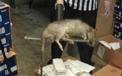 Les rats tués à Téhéran pèsent jusqu'à 5 kilos.
