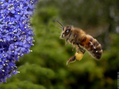 Les dresseurs d'abeille lui offrent régulièrement de la nourriture posée sur des explosifs. L'abeille apprend à associer les deux. Ensuite, dans un réflexe pavlovien, elle trouve toute seule les mines à désamorcer.